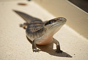 Xueling Zou - Blue Tongue Lizard 1