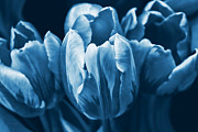 Blue Flowers Photos - Blue Tulip Flowers by Jennie Marie Schell