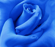 Rose Portrait Posters - Blue Velvet Rose Flower Poster by Jennie Marie Schell