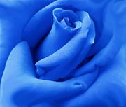 Blue Velvet Rose Flower Print by Jennie Marie Schell