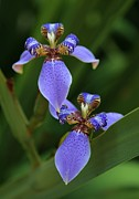 Florida Florals Photos - Blue Walking Iris by Carol Groenen