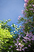 Lilacs Posters - Blue wall with flowers Poster by Elena Elisseeva
