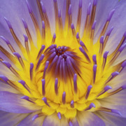 Water Lilly Posters - Blue Water Lily Poster by Heiko Koehrer-Wagner