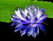 Nick Zelinsky - Blue Water Lily...
