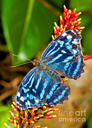 Royal Blue Framed Prints - Blue Wave Butterfly Framed Print by Millard H. Sharp