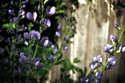 Michelle Calkins - Blue Wild Indigo - Baptisia australis