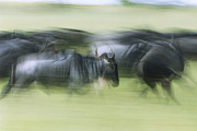 Stampede Prints - Blue Wildebeest Herd Running Print by Konrad Wothe