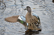 Duck - Blue Winged Teal by Kathy Gibbons