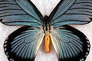 Blue Wings Prints - Blue Wings Print by John Rizzuto
