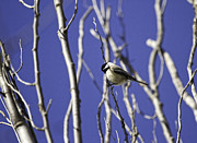 Tiny Bird Prints - Blue Winter Sky Print by Thomas Young