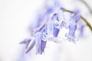 Bluebell Framed Prints - Bluebell Abstract III Framed Print by Anne Gilbert