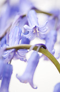 Mothers Day Prints - Bluebell Abstract IV Print by Anne Gilbert