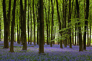 Patch Posters - Bluebell patch Poster by Richard Thomas