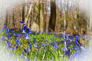 Ian Broadmore - Bluebell Wood