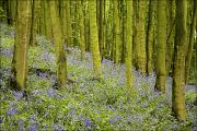 Forest Floor Prints - Bluebell Wood Impression Print by Chris Upton