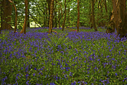 Paul Scoullar - Bluebell Wood