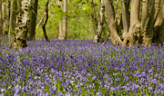 Karen Lawrence - Bluebell Woods