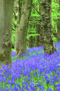 Bluebell Prints - Bluebell Woods The Wenallt 2 Print by Robert J Taylor