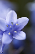 Woodland Violet Photos - Bluebells 4 by Steve Purnell