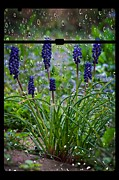 Rain Digital Art - Bluebells in the Rain by Donald Davis