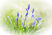 Natalie Kinnear Acrylic Prints - Bluebells on the Forest Acrylic Print by Natalie Kinnear
