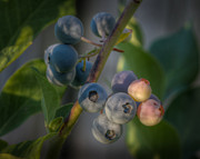 Blueberry Photo Framed Prints - Blueberry Morning Framed Print by James Barber