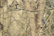 Sparrows Photos - Bluebird and Sparrow by Heather Applegate