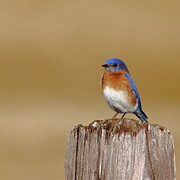 Birdie Prints - Bluebird At His Post Print by Robert Frederick