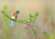 Bluebird Metal Prints - Bluebird Breeze Metal Print by William Jobes
