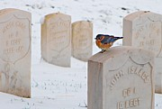 Headstones Metal Prints - Bluebird Metal Print by Chris Berry