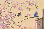 Randall Branham Art - Bluebird Conversation In Blossoms by Randall Branham
