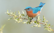 Eastern Bluebird Posters - Bluebird Floral Poster by William Jobes