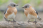 Bluebird Metal Prints - Bluebird Gossip Metal Print by Bonnie Barry