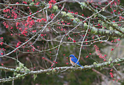 Douglas Stucky - Bluebird in Cades Cove