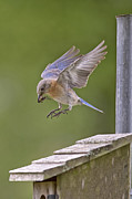 Eastern Bluebird Prints - Bluebird Landing Print by Bonnie Barry