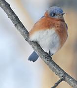 Marie Fortin - Bluebird