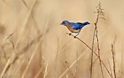Eastern Bluebird Framed Prints - Bluebird Meadow Framed Print by William Jobes