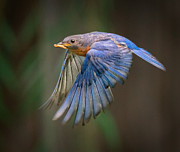 Song Bird Photos - Bluebird No. 2 by Rick Barnard