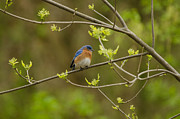 The Hills Photo Prints - Bluebird of Happiness Print by Maria Suhr