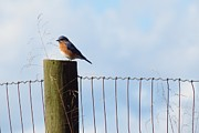 Anita Adams - Bluebird on a Fence post...