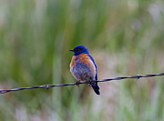 Western Photo Framed Prints - Bluebird on a Wire Framed Print by Mike  Dawson