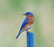 Bluebird Metal Prints - Bluebird On Blue Post Metal Print by Robert Frederick