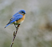 Sue Mcglothlin Posters - Bluebird on my tree Poster by Sue McGlothlin