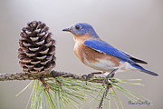 Bonnie Barry - Bluebird on Pine Branch