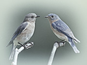 Bluebirds Prints - Bluebirds in Love Print by Susan Candelario