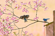 Randall Branham Art - Bluebirds in Pastel Pinks by Randall Branham