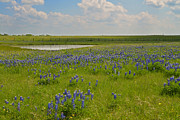 Lynn Bauer Prints - Bluebonnet Bliss Print by Lynn Bauer