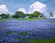 Blue Flowers Posters - Bluebonnet Farm Poster by David and Carol Kelly