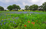 Flower Display Prints - Bluebonnet Fields Forever Print by Lynn Bauer