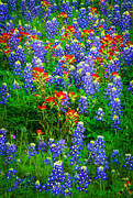 Bluebonnet Wildflowers Posters - Bluebonnet Patch Poster by Inge Johnsson